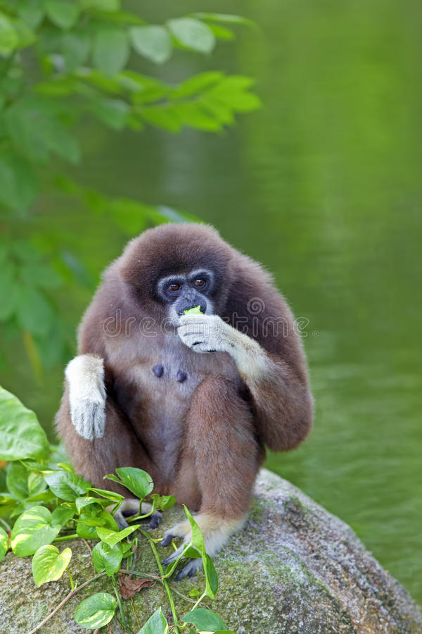 Macaco de Gibbon foto de stock royalty free