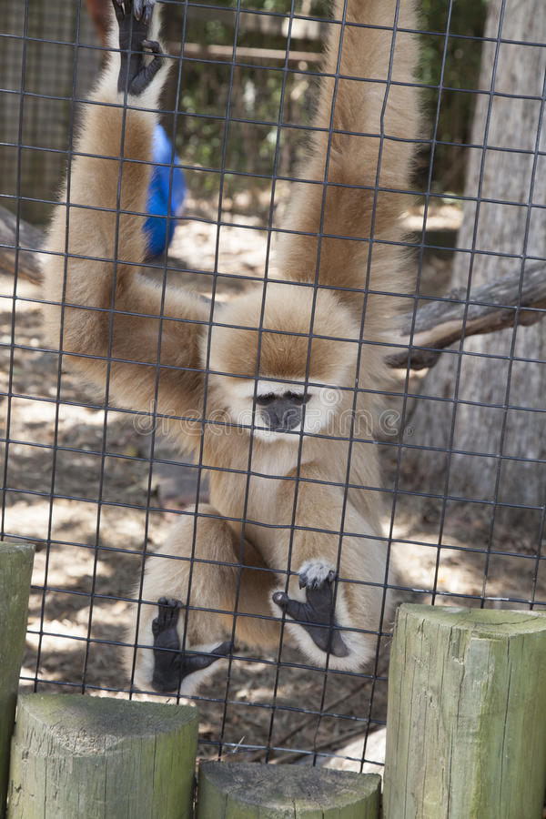 Macaco de Gibbon imagem de stock royalty free