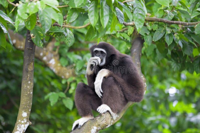 Macaco de Gibbon imagens de stock royalty free