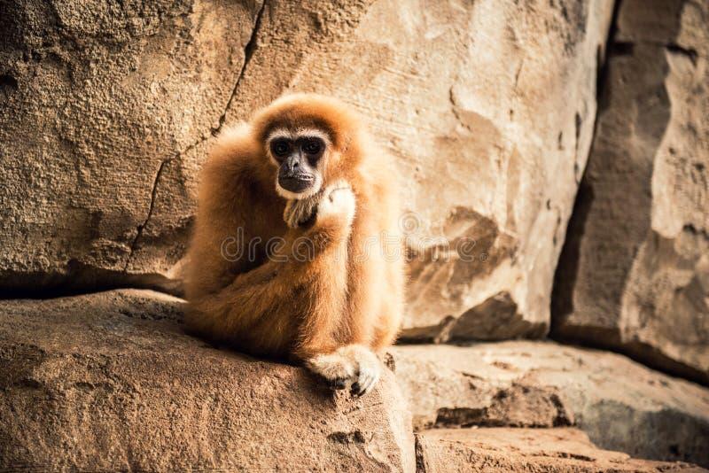 Macaco de Gibbon imagem de stock
