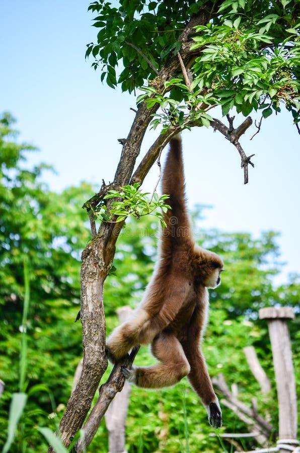 Macaco de Gibbon fotografia de stock royalty free