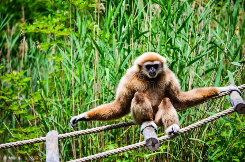 Macaco de Gibbon fotos de stock