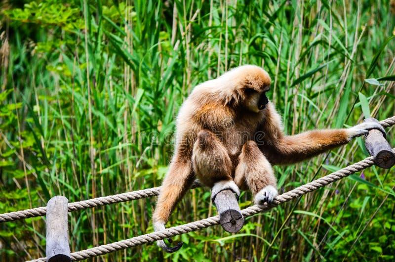 Macaco de Gibbon fotos de stock royalty free