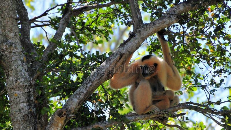 Macaco de Gibbon com os jovens na árvore fotos de stock royalty free