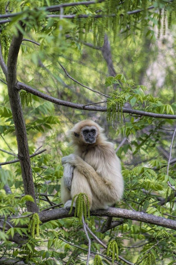 Macaco de Gibbon - Lar do Hylobates imagem de stock