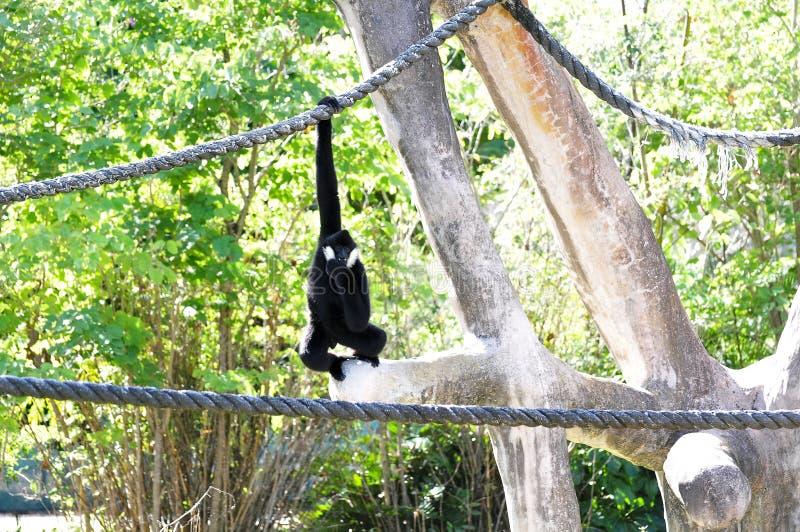 Macaco de Gibbon que pendura na corda fotografia de stock