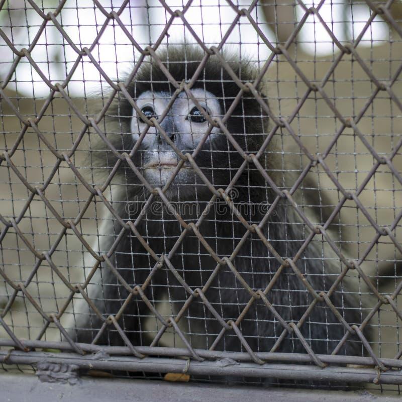 Macaco de grito triste na gaiola imagens de stock royalty free