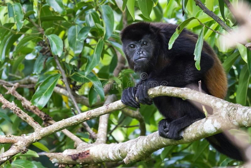 Macaco de Howler em Costa-Rica fotos de stock