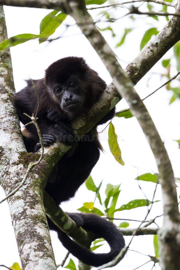 Macaco de Howler em Costa-Rica imagens de stock