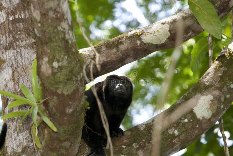 Macaco de Howler na filial imagens de stock