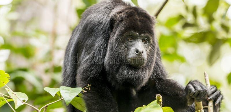 Macaco de howler preto fotos de stock royalty free