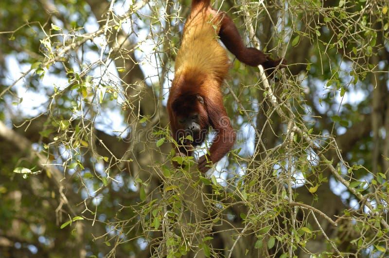 Macaco de howler vermelho 102 foto de stock royalty free