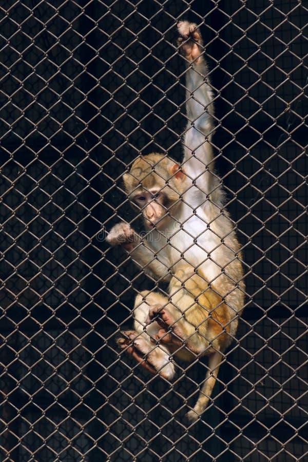Download Macaco de la India imagen de archivo. Imagen de macaque - 41921219