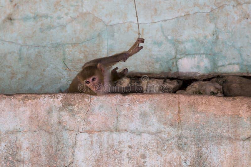 Macaco de macaque burmese curioso que encontra-se em desintegrar a parede cor-de-rosa e na vista para baixo imagem de stock royalty free