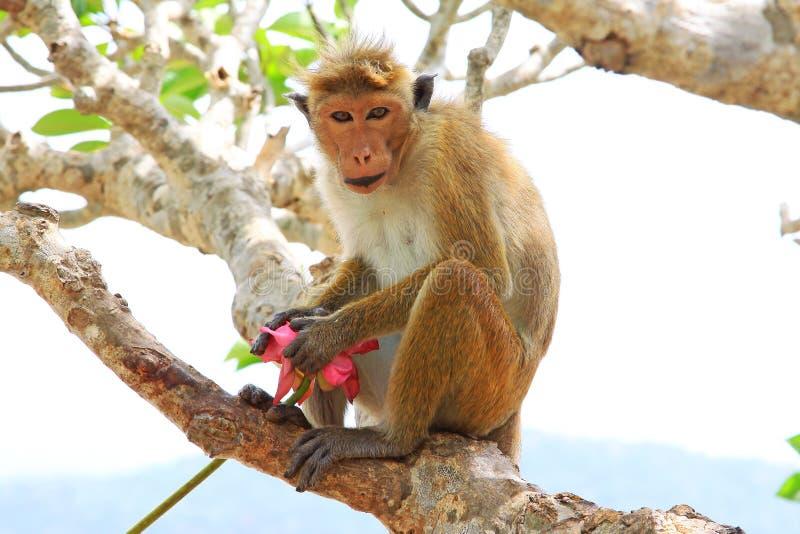 Macaco de Macaque do Toque, Sri Lanka fotos de stock royalty free