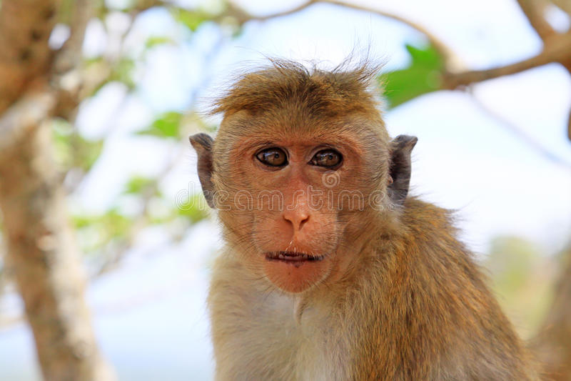 Macaco de Macaque do Toque, Sri Lanka foto de stock royalty free