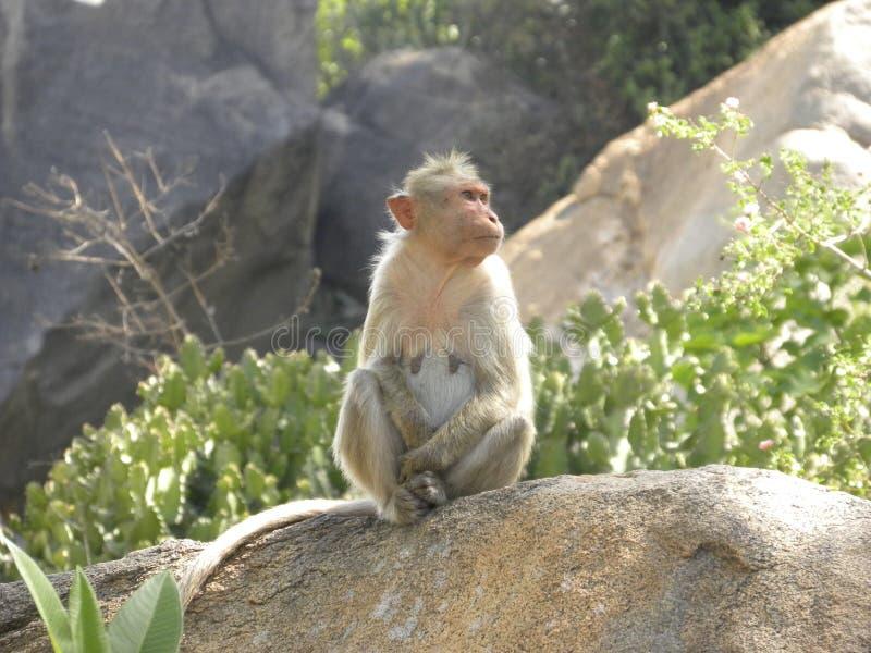Macaco de macaque fêmea da capota que senta-se em uma rocha do granito foto de stock royalty free