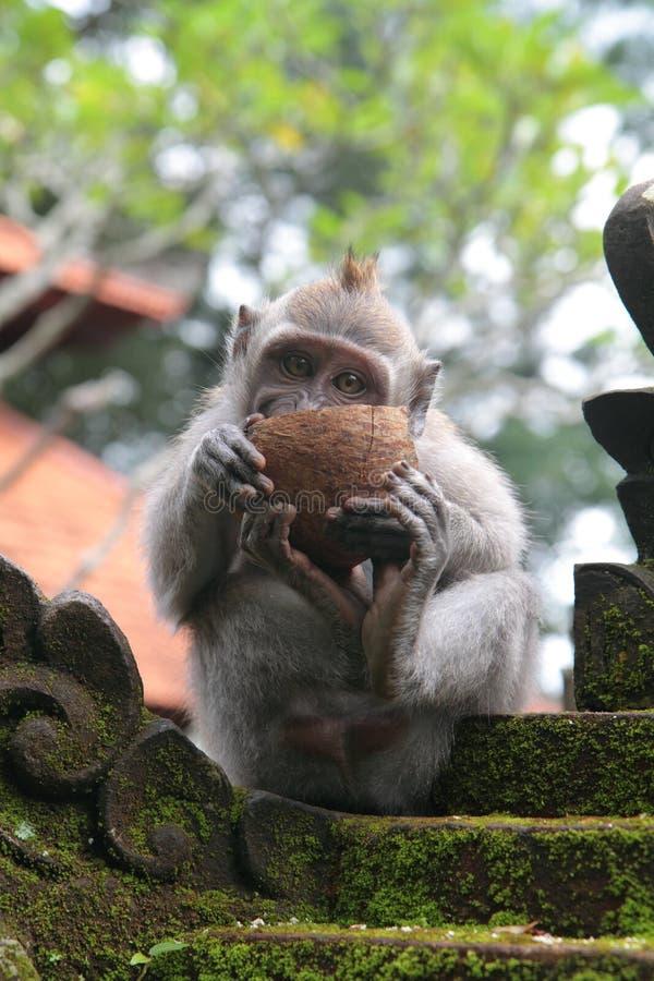 Macaco de macaque novo que aprecia um cocnut fotografia de stock