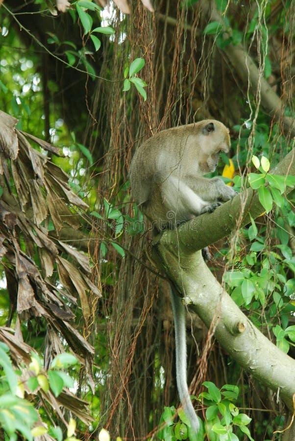 macaco de macaques long-tailed foto de stock