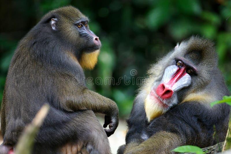Macaco de Mandrill imagens de stock
