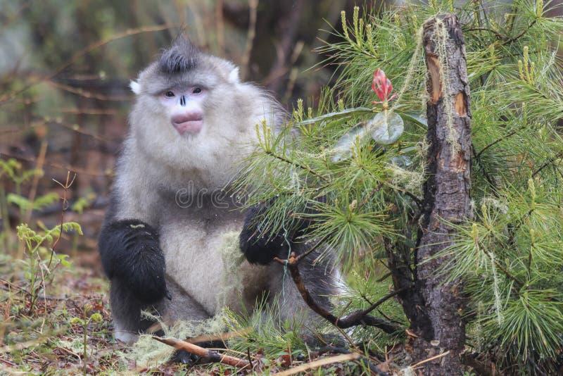 Macaco de nariz arrebitado preto Rhinopithecus Bieti de Yunnan foto de stock royalty free
