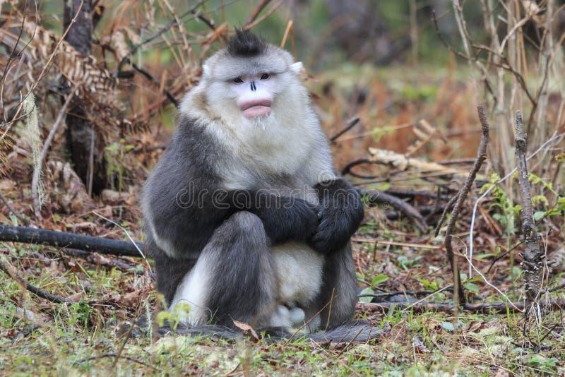 Macaco de nariz arrebitado preto Rhinopithecus Bieti de Yunnan imagem de stock
