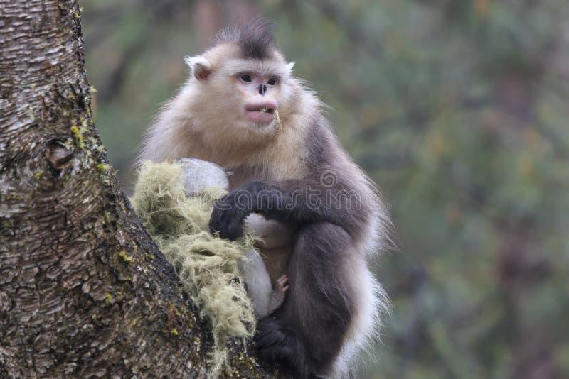 Macaco de nariz arrebitado preto Rhinopithecus Bieti de Yunnan fotos de stock royalty free