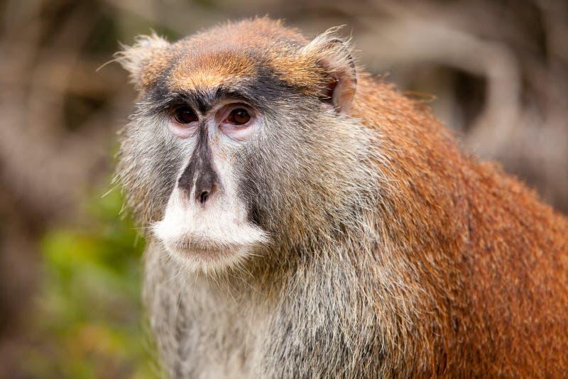 Macaco de Patas (patas do Erythrocebus) imagem de stock royalty free