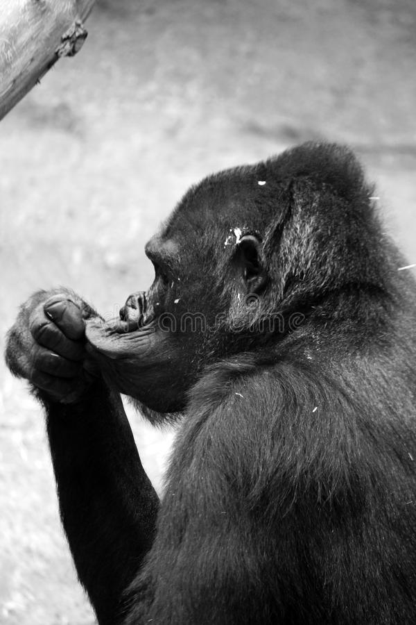 Macaco de pensamento fotografia de stock royalty free