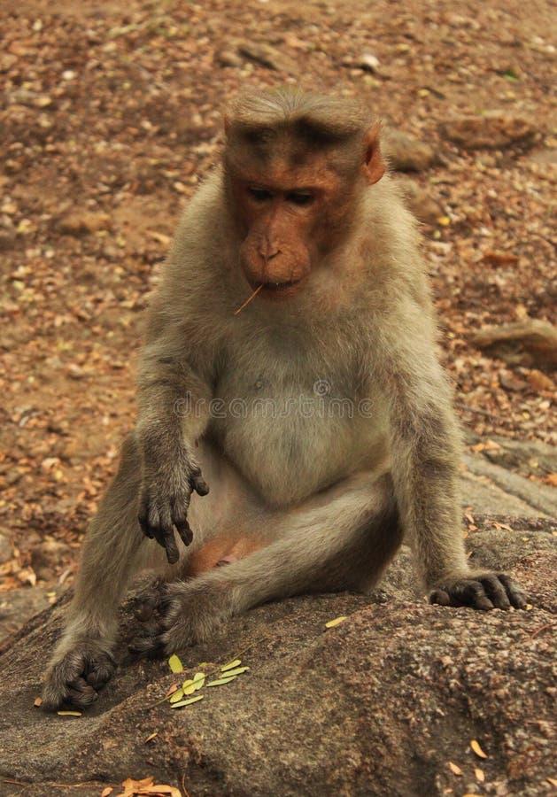 Macaco de pensamento imagens de stock