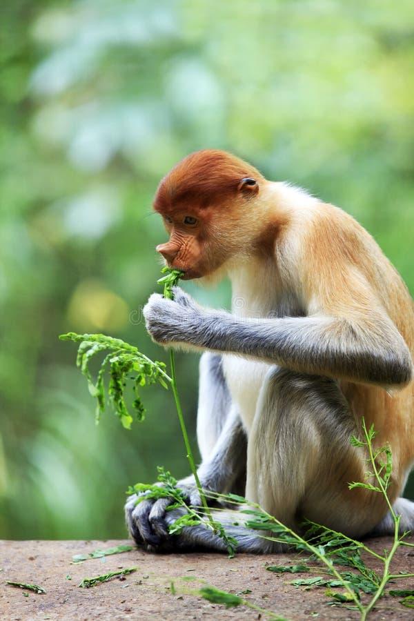 Macaco de probóscide foto de stock