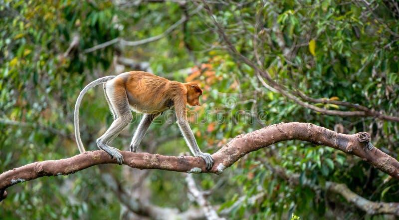 Macaco de probóscide em uma árvore foto de stock