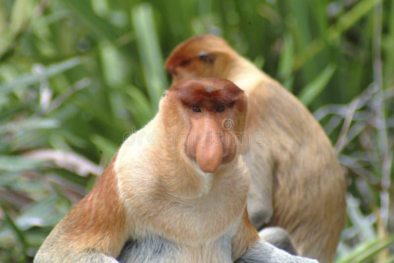 Macaco de probóscide, Kinabatangan, Sabah fotografia de stock