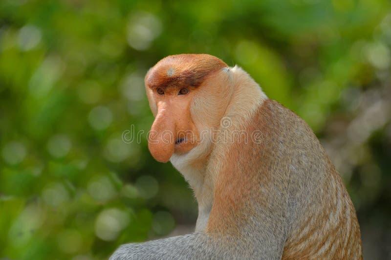 Macaco de probóscide fotos de stock royalty free
