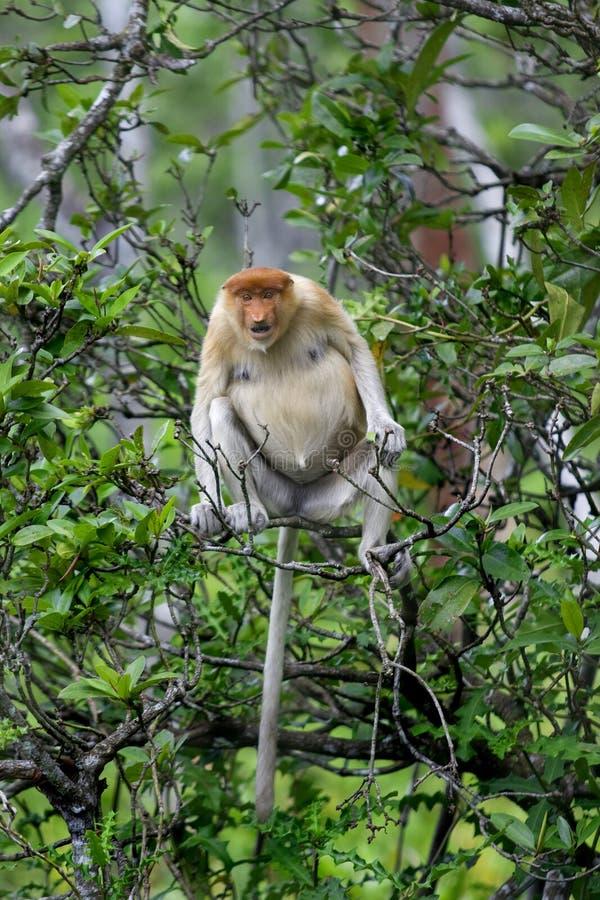 Macaco de Proboscis imagem de stock