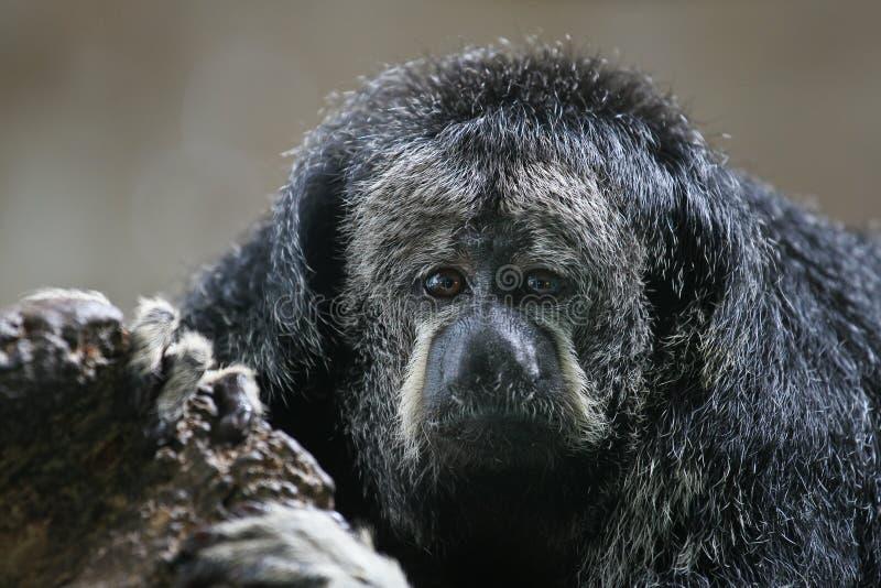 Macaco de Saki da monge imagens de stock