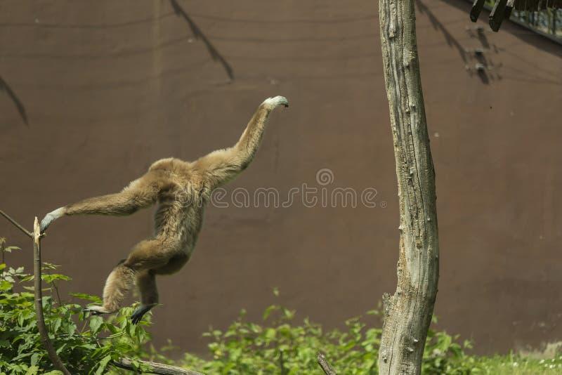 Macaco de salto imagens de stock royalty free