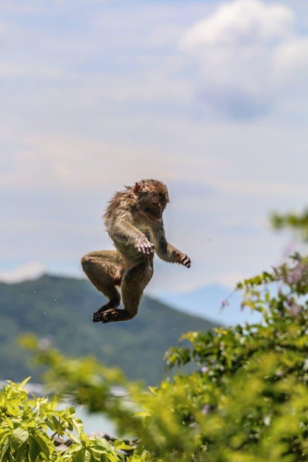Macaco de salto foto de stock