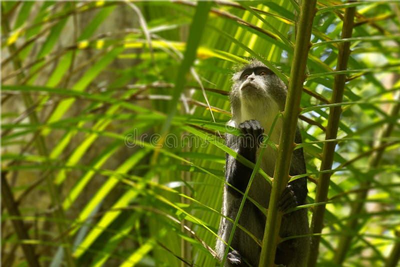 Macaco de Sykes na floresta de Jozani, Zanzibar, Tanzânia imagem de stock royalty free