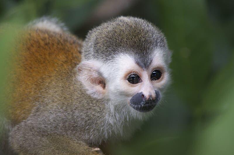 Macaco de Titi imagem de stock royalty free