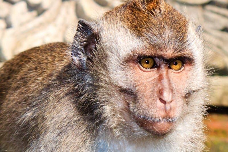 Macaco de Ubud imagens de stock royalty free