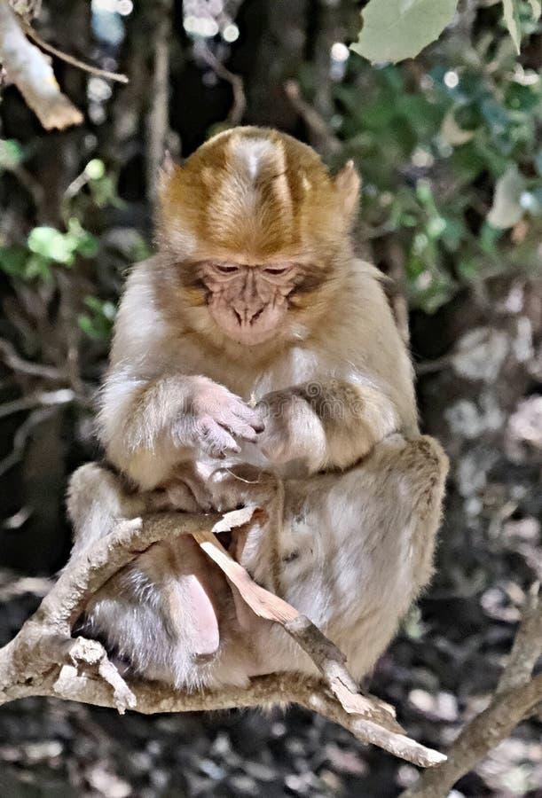Macaco de um rebanho dos macacos que vivem livremente nas montanhas de atlas em Marrocos De forma alguma receoso dos povos imagem de stock royalty free