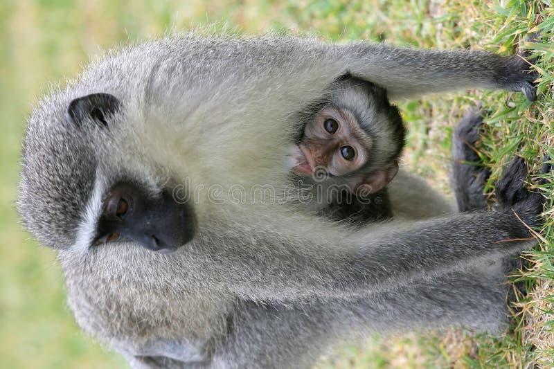 Macaco de Vervet bonito do bebê fotografia de stock