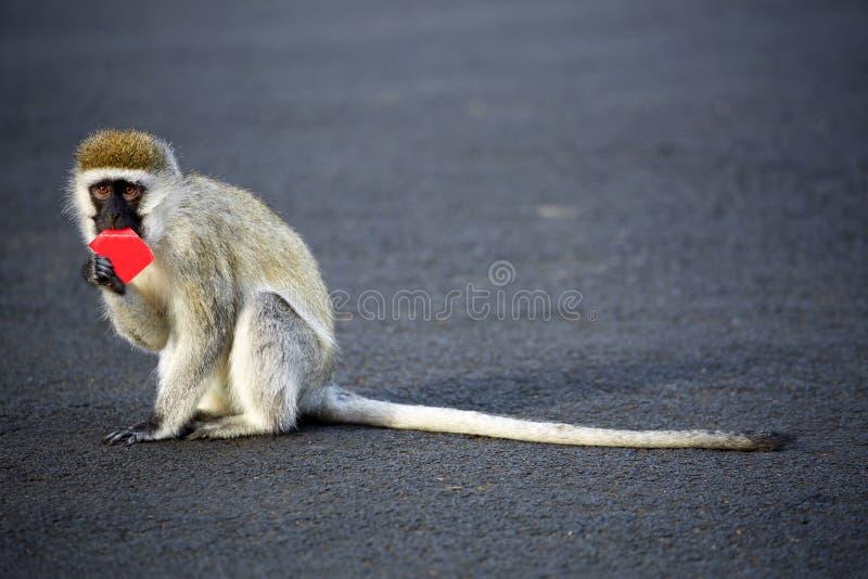 Macaco de Vervet minúsculo em Naivasha, Kenya fotos de stock