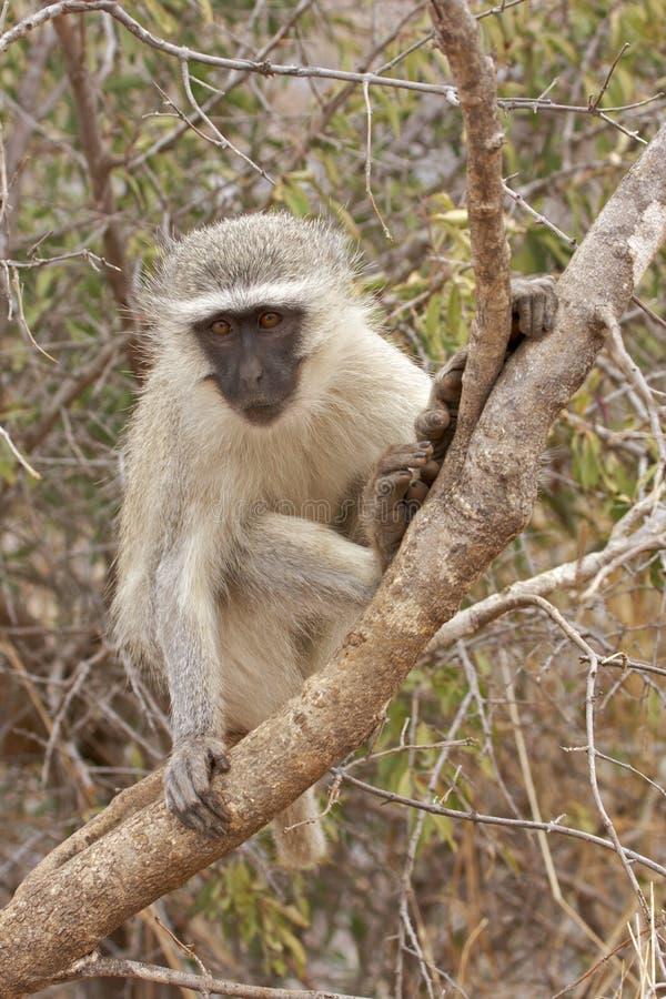 Macaco de Vervet na filial de árvore foto de stock