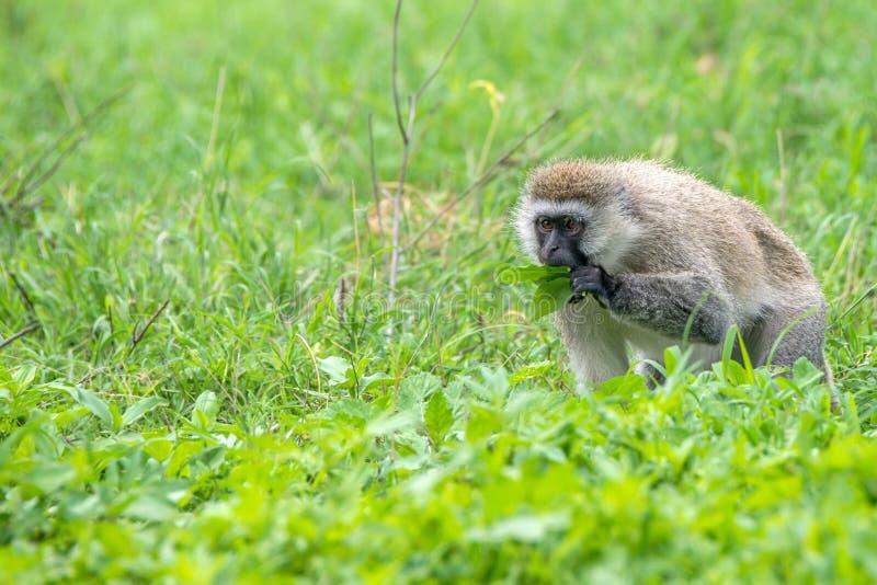 Macaco de Vervet ou pygerythrus de Chlorocebus fotos de stock royalty free