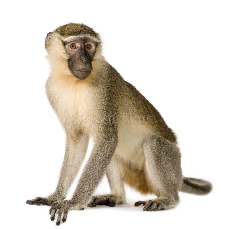 Macaco de Vervet - pygerythrus de Chlorocebus foto de stock royalty free