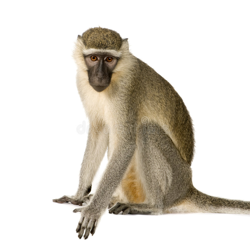 Macaco de Vervet - pygerythrus de Chlorocebus fotos de stock
