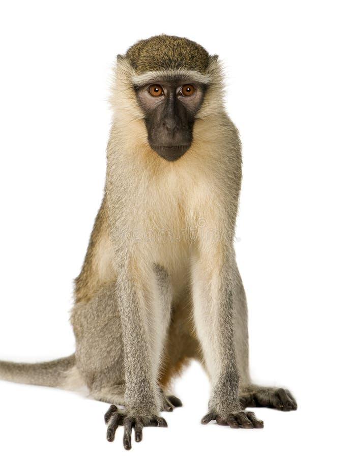 Macaco de Vervet - pygerythrus de Chlorocebus imagens de stock