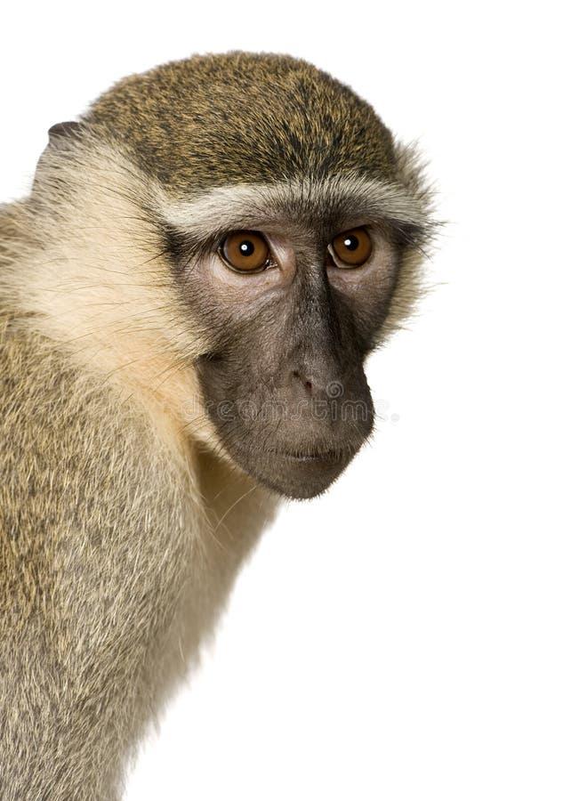 Macaco de Vervet - pygerythrus de Chlorocebus imagens de stock royalty free